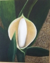 Philodendron Spadix